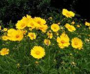金鸡菊的种植方法