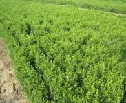 绿化苗木的浇水方法