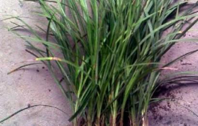 麦冬草可不是杂草哦