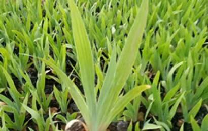 常绿苗木养护中经常出现什么问题