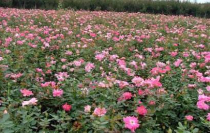 丰花月季与玫瑰可是不同的两种植物