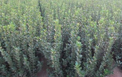 大叶黄杨的种植利润如何