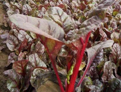 耐寒草花-红叶甜菜