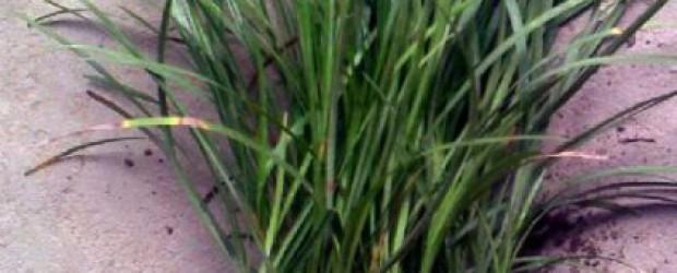 简单了解一下麦冬草
