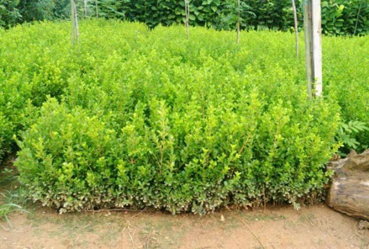 青州绿化苗木